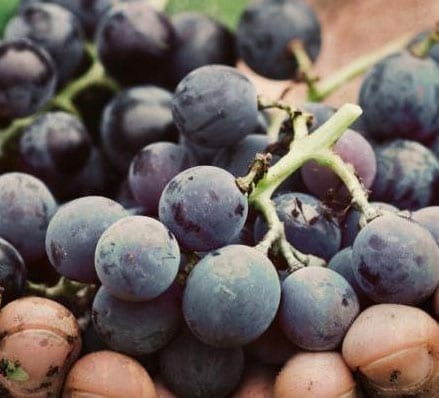 Quality and Tradition Port Wine Grapes
